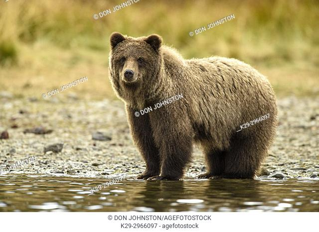 Grizzly bear (Ursus arctos)- Adult hunting sockeye salmon in shallows of the Chilko River. Chilcotin Wilderness, British Columbia BC