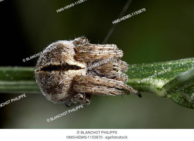 France, Araneae, Araneidae, Gorse orbweaver (Agalenatea redii)