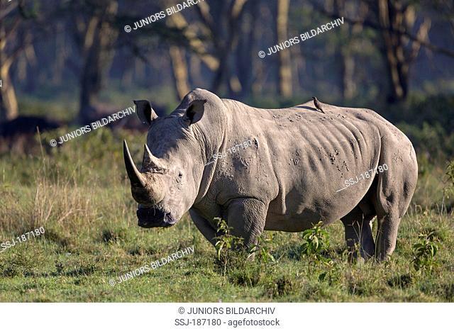 White Rhinoceros, Square-lipped Rhinoceros (Ceratotherium simum). Adult standing in savannah. Lake Nakuru National Park, Kenya
