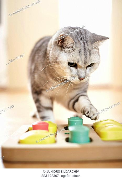 British Shorthair cat. Tabby adult playing a strategy game. Germany
