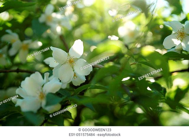 closeup shot of white jasmine flowers in sunny summer day, shallow focus