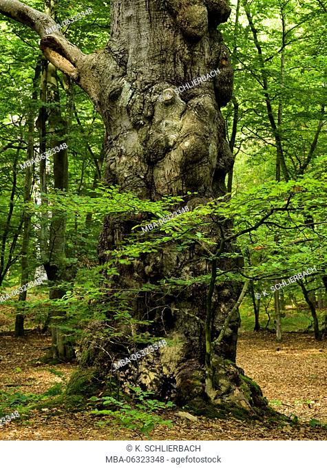 Germany, Mecklenburg-Western Pomerania, Western Pomerania Lagoon Area National Park, Darss Forest, centuries-old knobby and crooked beech with knotholes