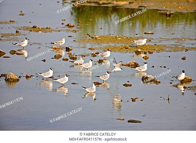 Nature - Fauna - Bird - Black-headed gulls