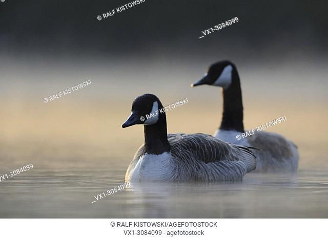 A pair of Canada Geese ( Branta canadensis ) swimming closer in early morning mist, while sun comes through, wildlife, Europe