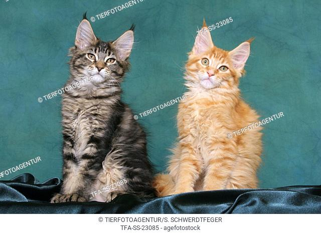 2 sitting Maine Coon Kitten