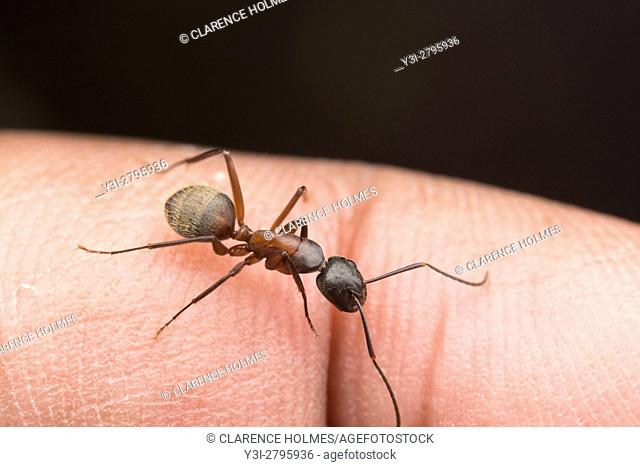 A Ferruginous Carpenter Ant (Camponotus chromaiodes) perches on a finger