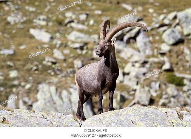 Lombardy, Italy, Ibex
