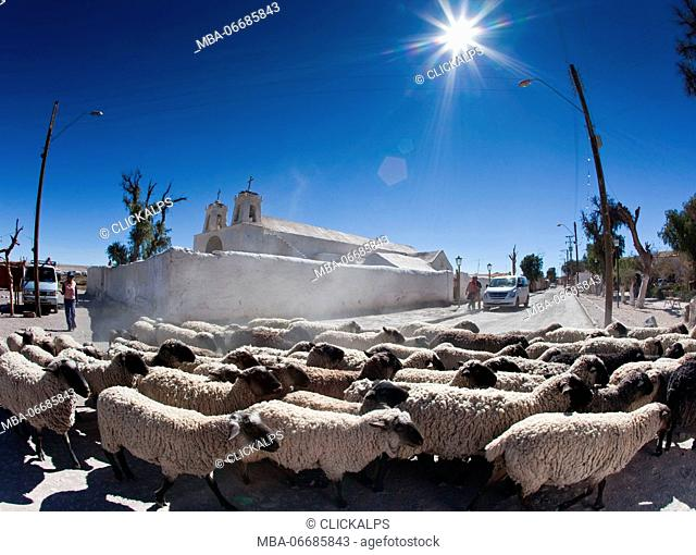 A flock of sheep crossing the main road of Chiu Chiu a town in Chile which was one of the stops on the Inca trail and is still a rest stop for travelers in the...