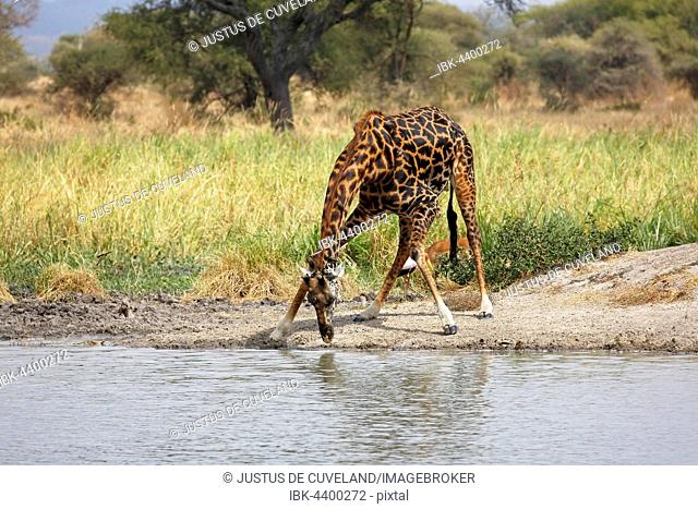 Giraffe (Giraffa camelopardalis), male drinking, Tarangire National Park, Tanzania