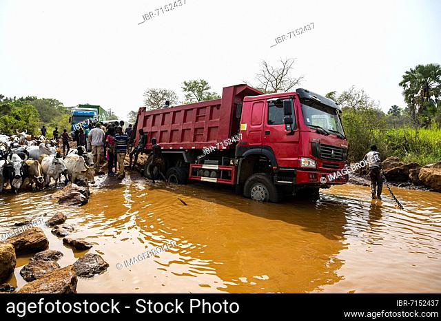 Truck stuck in a waterhole while a herd of cows passing by, Laarim tribe, Boya hills, Eastern Equatoria, South Sudan, Africa