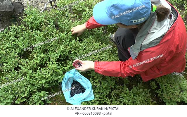 The girl collects the berries of Blueberry (Vaccinium sp.), wide shot
