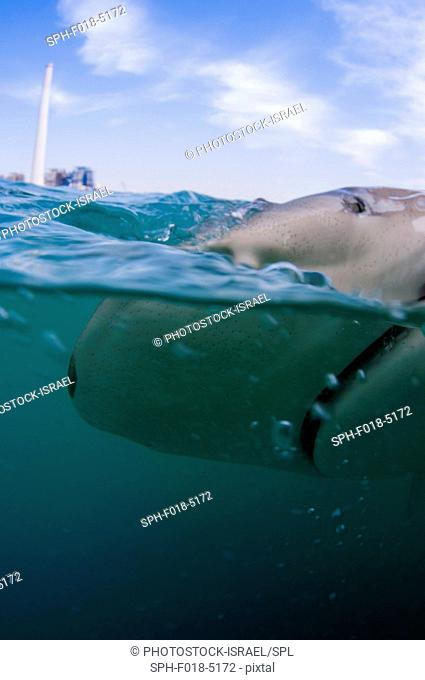Researchers tagging a sandbar shark (Carcharhinus plumbeus) in the Mediterranean Sea. In recent years this shark has become more common in the Mediterranean...