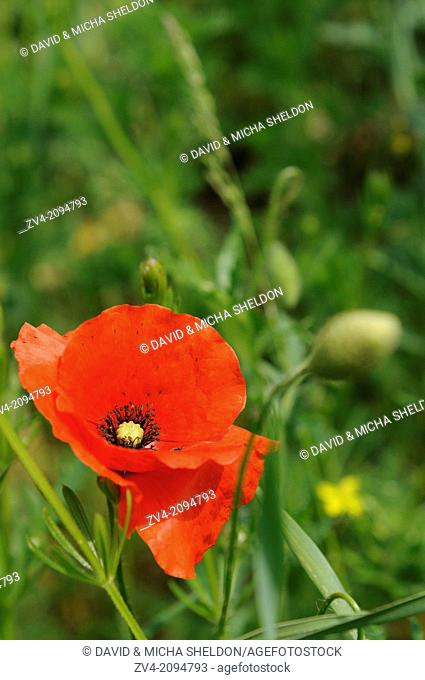 Close-up of a Corn Poppy (Papaver rhoeas) blossom in a field in bavaria