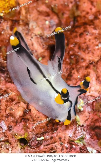 sea slug or nudibranch, Thecacera picta, Anilao, Batangas, Philippines, Pacific
