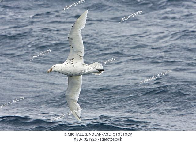 Southern Giant Petrel Macronectes giganteus on the wing in the drake passage between South America and the Antarctic Peninsula