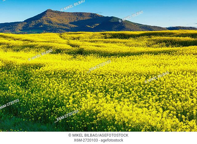 Rape crop (Brassica napus). Tierra Estella, Navarre, Spain, Europe