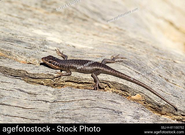 Kalahari Tree Skink (Mabuya spilogaster, also Trachylepis spilogaster). Kalahari Desert, Kgalagadi Transfrontier Park, South Africa