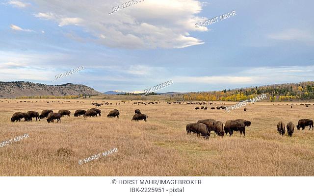 Bison herd (Bison bison), Elk Ranch Flats, Grand Teton National Park, Wyoming, USA