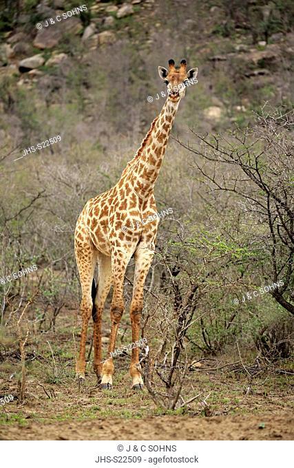 Cape Giraffe, (Giraffa camelopardalis giraffa), adult alert, Hluhluwe Umfolozi Nationalpark, Hluhluwe iMfolozi Nationalpark, KwaZulu Natal, South Africa, Africa