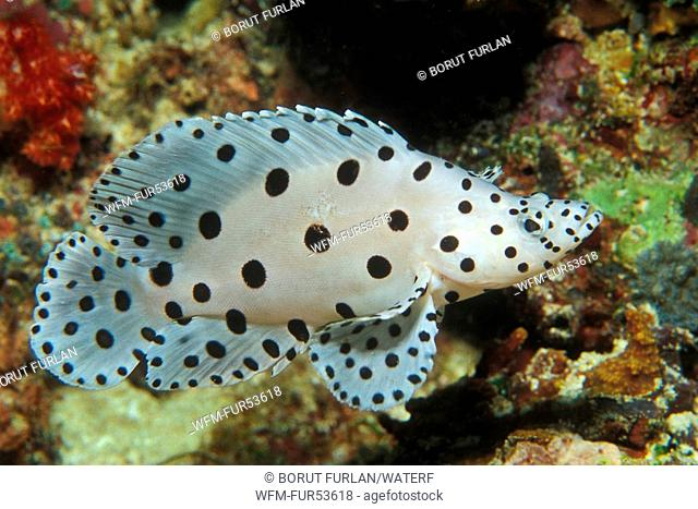 Barramundi Cod, Cromileptes altivelis, South Pacific, Solomones Islands