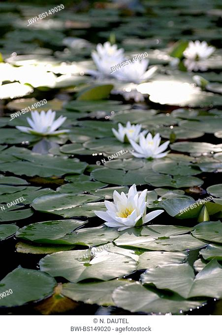 white water-lily, white pond lily (Nymphaea alba), flowering