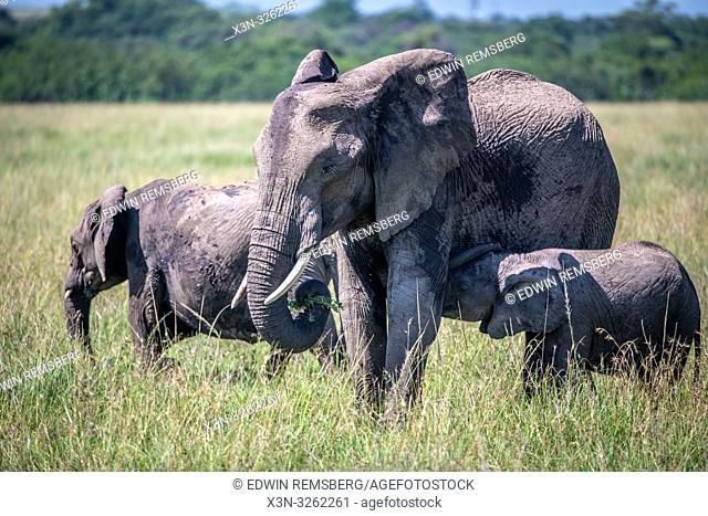 African bush elephants (Loxodonta africana), aka African savanna elephants nursing from their mom in Maasai Mara National Reserve , Kenya