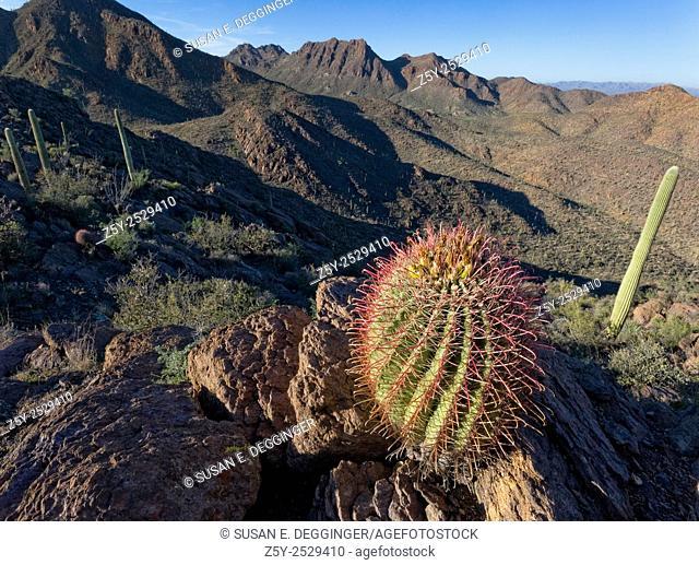 Barrel Cactus, Tucson Mountains, Saguaro National Park, West, Tucson Arizona