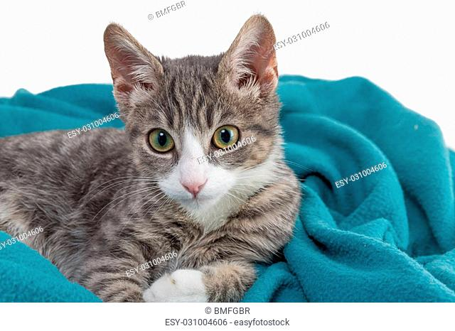 sweet little grey tiger cat lying on a turquoise blanket