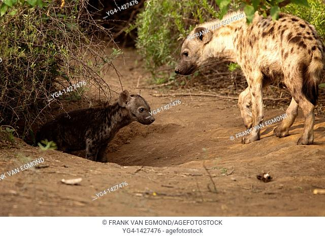 Spotted Hyena Crocuta crocuta   Hyena adult and pup at their den  One adult is left behind at the den to look after the pups while the rest of the clan goes to...