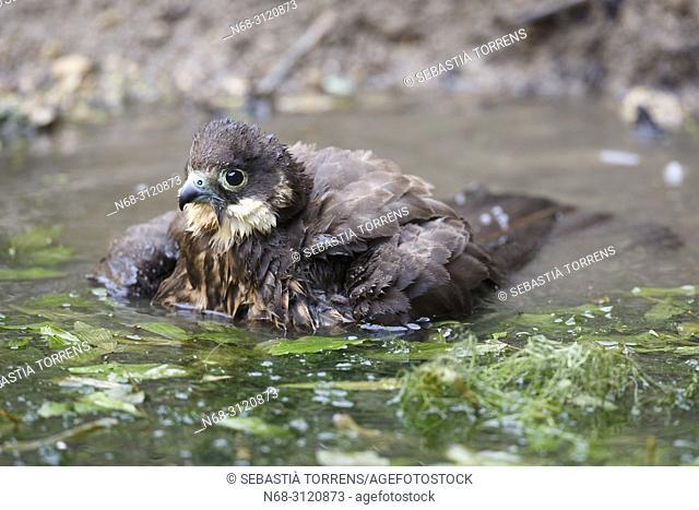 Eleonora's Falcon (Falco eleonorae) having a bath, Majorca, Balearic Islands, Spain