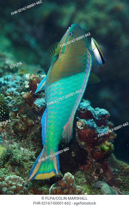 Yellowfin Parrotfish (Scarus flavipectoralis) adult male, being cleaned by Bluestreak Cleaner Wrasse (Labroides dimidiatus), Lembeh Straits, Sulawesi