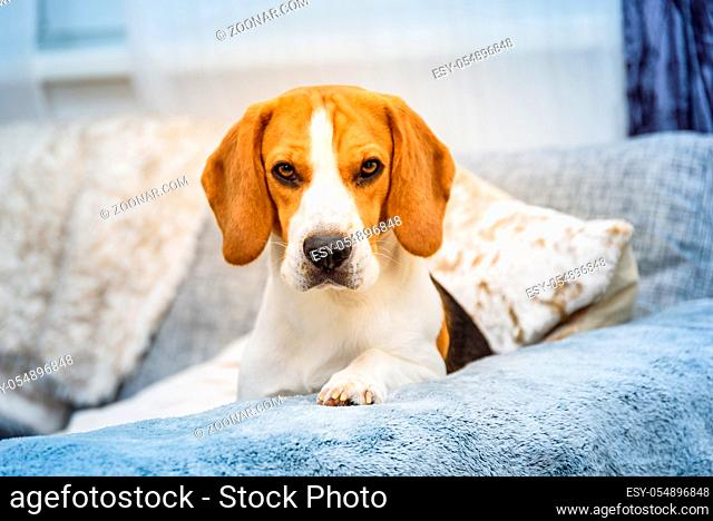 Beagle dog lie on a couch in living room with paws on hand-rest