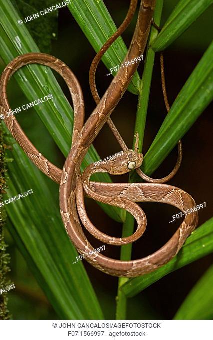 Blunthead Tree Snake Imantodes cenchoa - Costa Rica - arboreal - tropical rainforest