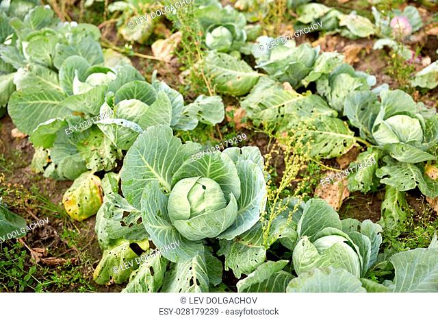 vegetable, gardening and farming concept - cabbage growing on summer garden bed at farm