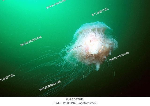 lions mane jellyfish Cyanea capillata