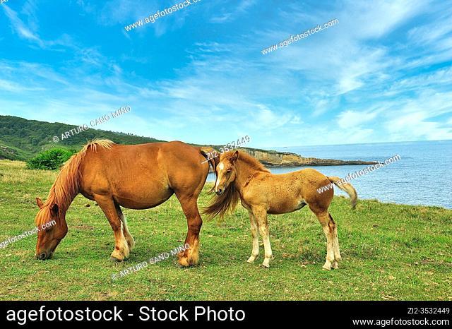 Horses in the Basque coast. Hondarribia town, Guipuzcoa province, Spain