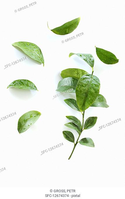 Kaffir lime leaves with water droplets