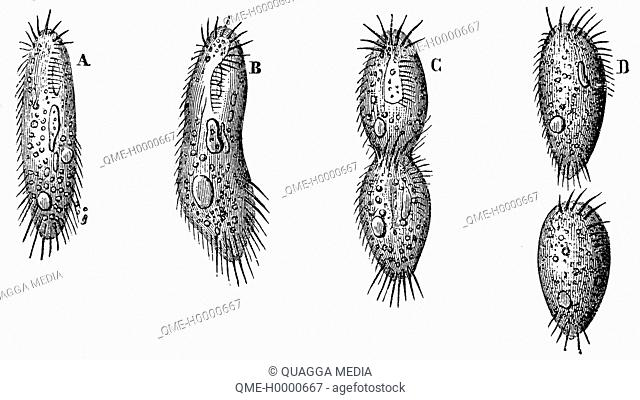 Infusoria: Cell division