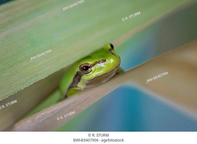 European treefrog, common treefrog, Central European treefrog (Hyla arborea), hiding between two reed leaves, Germany, Bavaria