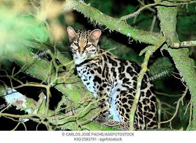 Caucel (Leopardus wiedii) en la Reserva Biologica de Monteverde, Costa Rica