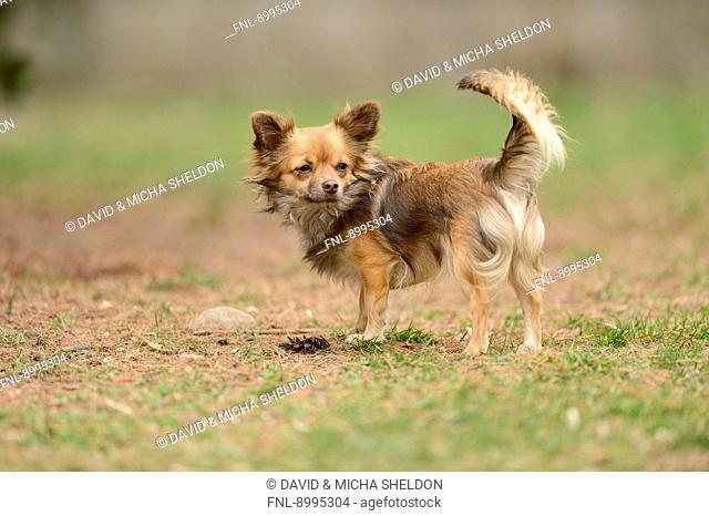 Chihuahua in garden