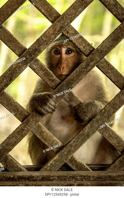 Close-up of long-tailed macaque sits behind wood trellis window; Can Gio, Ho Chi Minh, Vietnam