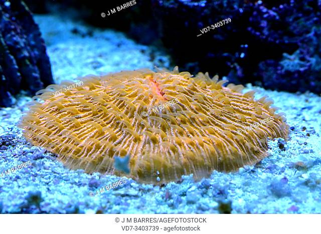 Coral dish (Fungia fungites) is a solitary stony coral