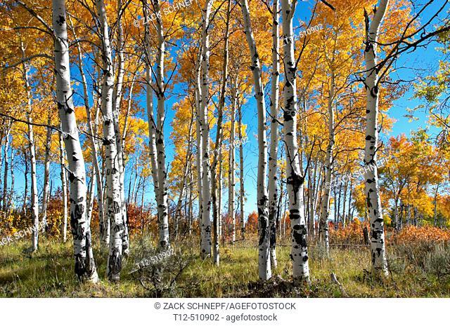 Aspen Grove in the Grand Teton National Park, Wyoming in autumn