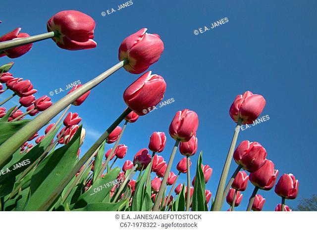 Tulips in flower Swaffham Norfolk