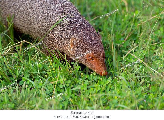 Ruddy mongoose Herpestes smithii zeylanicus
