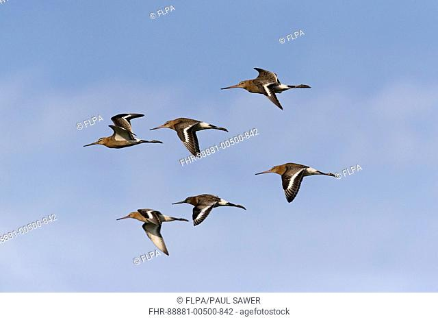 Black-Tailed Godwit (Limosa limosa) adult breeding plumage, flock of 6, flying, Suffolk, England, UK, July