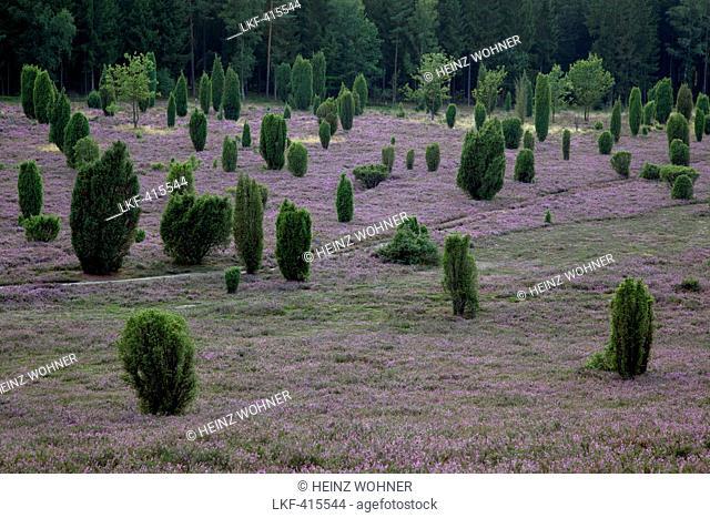 Juniper and blooming heather, Lueneburg Heath, Lower Saxony, Germany, Europe