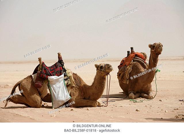 Tourist camel desert Stock Photos and Images | age fotostock