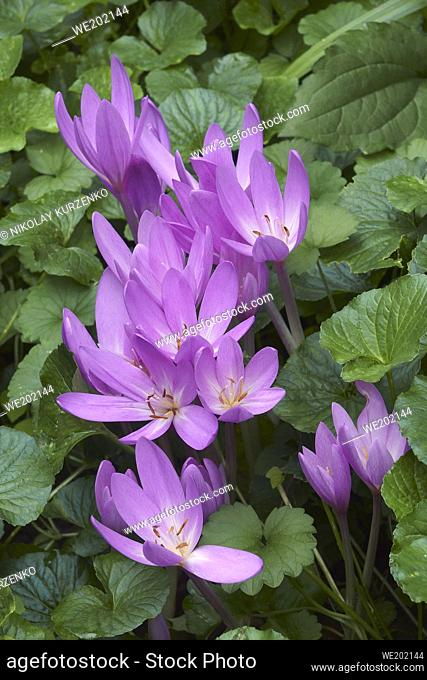Autumn crocus (Colchicum autumnale). Called Meadow saffron and Naked lady also